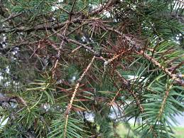 blue spruce hort notes does your blue spruce the blues blame