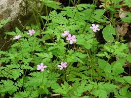 Identify Flowers - herb robert pictures flowers leaves and identification