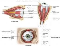 anatomy of extraocular muscles images learn human anatomy image