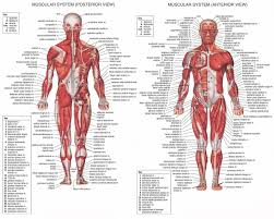 Picture Diagram Of The Human Body Labelled Diagram Of The Human Body Human Body Muscles Diagram