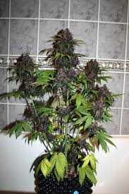 red poison 2 5 autoflower network afn