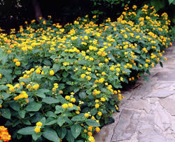lantana lantana camara the lantana plant is a genus of about