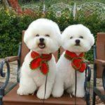 bichon frise instagram see instagram photos and videos from acosta bichon love