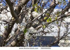 popular free ornamental pear tree pyrus calleryana redspire pear