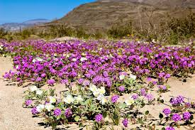 anza borrego super bloom best time to see anza borrego desert super bloom in california 2018