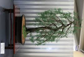 australian native plants guide australian native plants as bonsai wattos bonsai blog