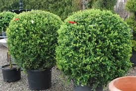 b is for boxwood dirt simple