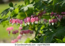 bleeding heart flower bleeding heart flowers stock photography search pictures and