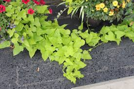 how to grow ornamental sweet potato vine