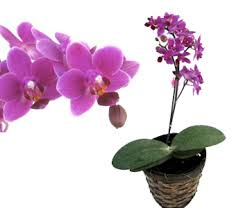 learn learn orchid gifts orchid gift orchid plants white