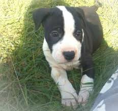 american pitbull terrier dog price american pit bull terrier puppies for sale lancaster puppies