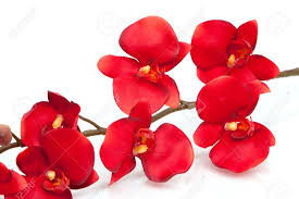 Red Orchids Red Orchid On White Background Stock Photo Picture And Royalty