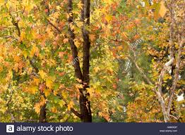 maple trees fall foliage glendora southern california stock photo