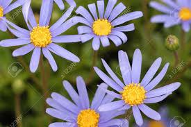 multiple petite blue flower of australian native plant brachyscome