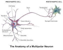 The Anatomy Of The Human Brain Anatomy And Physiology Medical Science Navigator Part 2