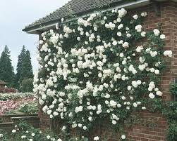 climbing iceberg witherspoon rose culture