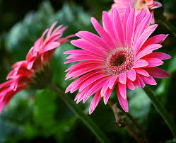 gerbera daisies gerbera care what you need to on craftsy