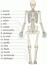 printable anatomy flash cards gallery human anatomy learning