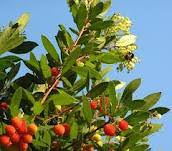 herbs treat and taste the strawberry tree not just an