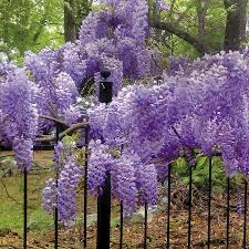 blue moon wisteria from wayside gardens