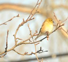 the goldfinch in winter is a bird of a different color garden