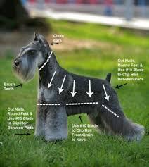 mini schnauzer haircut styles best 25 schnauzer grooming ideas cute dogs pinterest