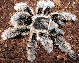 tarantula price list
