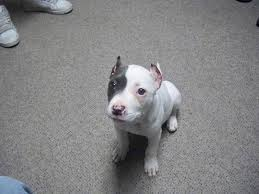 american pitbull terrier natural ears ear cropping care question pitbulls go pitbull dog forums