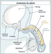 urologista explica como o viagra funciona no corpo do homem