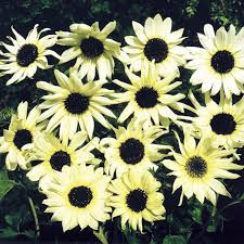 105 best sunflowers images on pinterest sunflower seeds