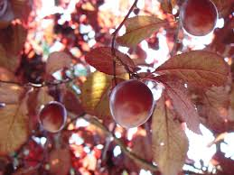 cherry plums shabby country