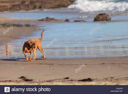 plays on cape cod bloodhound dog runs and plays along a beach in new england cape