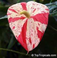 anthurium flower anthurium hybrid shibori flamingo flower variegated flower