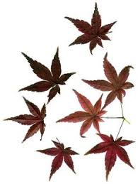 image result for japanese maple leaf autumn my favorite