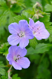 best 25 geranium himalayense ideas on pinterest herbaceous