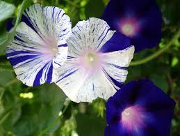 moon flower vine seeds large white flowers fragrant climbing