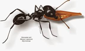 ants of southern africa messor species harvester ants