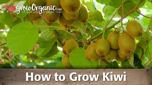 how to grow organic kiwi youtube