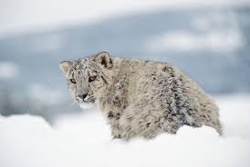why do high altitude snow leopards breathe like pussycats