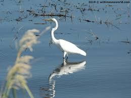 heron meaning great egret wilkinson u0027s world