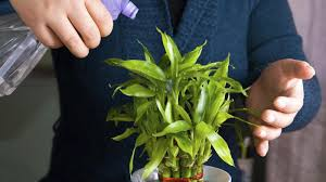 its easy to care your lucky bamboo plant nurserylive