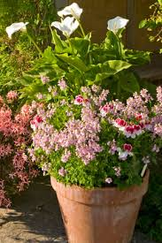 Summer Container Garden Ideas Containers Summer Selection Rhs Gardening