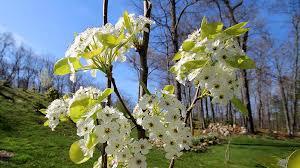 types of flowering pear trees marifarthing the flowering