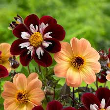 dahlias flowers your dahlias flower styles and sizes dahlia aster and