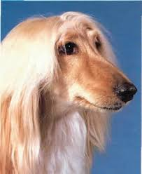 afghan hound least intelligent juicy dog couture june 2010