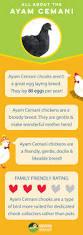 Best Backyard Chicken Breeds by 10 Best Ayam Cemani Chickens Images On Pinterest Backyard