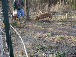 ohiofarmgirl u0027s adventures in the good land hog harvest 2011