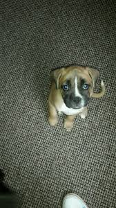 boxer dog yorkshire boxer puppy 13 week old in hull east yorkshire gumtree