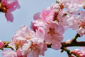 japanese cherry trees blossom tree free photo on pixabay