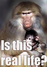 Baboon Meme - new baboon meme pics bodybuilding com forums